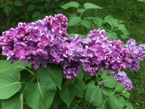 Lilacs051616